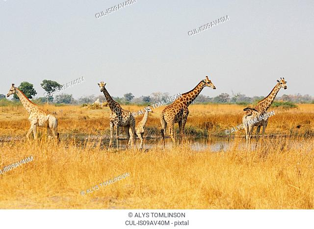 Tower of giraffes standing in water pan, Botswana
