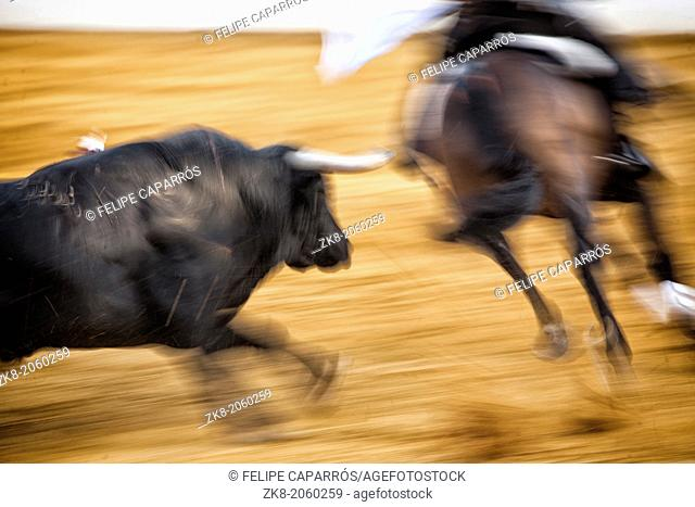 brave bull chasing horse during a bullfight, Spain