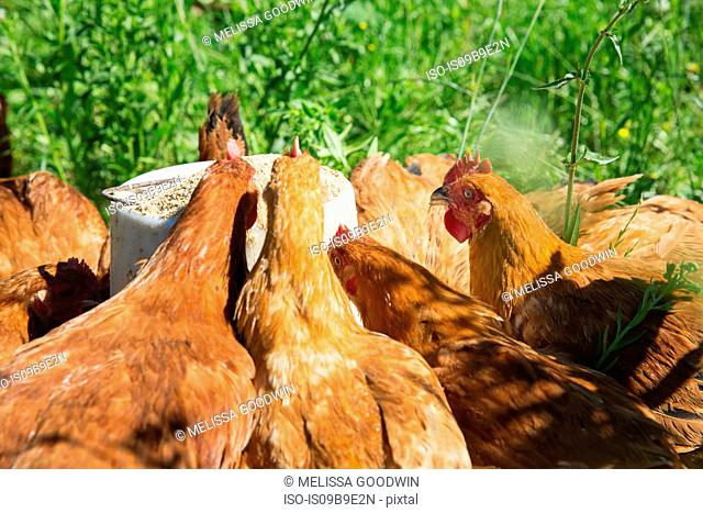 Free range golden comet hens on organic farm