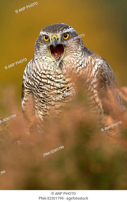 Goshawk (Accipiter gentilis) - Bradgate park, Newtown Linford, Leicestershire, England, Great Britain, Europe