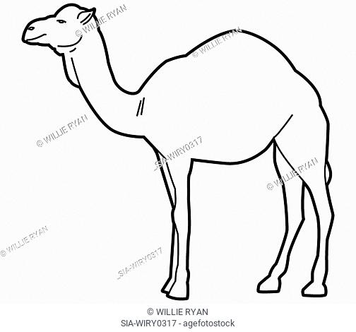 Camel on white background