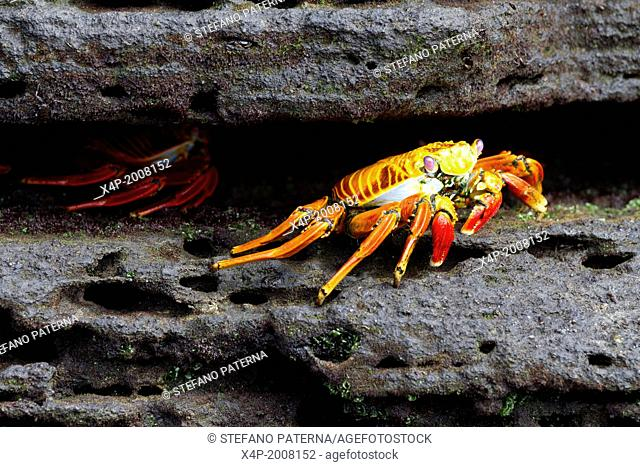 Sally Lightfoot Crab, Grapsus grapsus, Puerto Egas, Santiago Island, Galapagos Islands, Ecuador