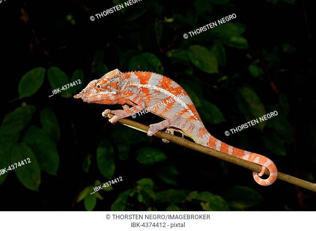 Angel's chameleon (Furcifer angeli), dry forest, northwestern Madagascar