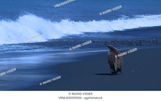 King penguin Aptenodytes patagonicus single chick moves into surf - blue cast to shot. Gold Harbour. South Georgia