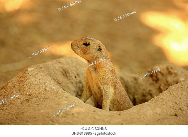 Black Tailed Prairie Dog, (Cynomys ludovicianus), young at den, North America