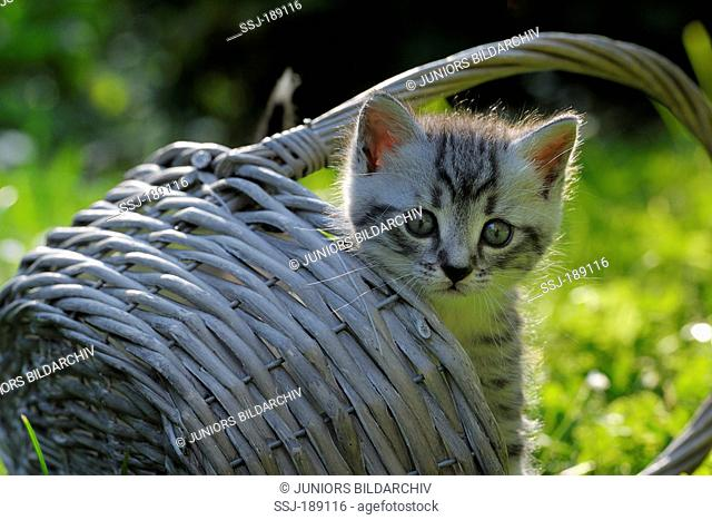 Domestic cat. Tabby kitten looking out from a basket. Germany