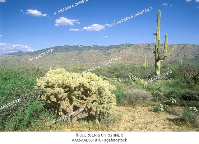 Sonora Desert in early Summer with Cholla and Saguaro Cacti, AZ