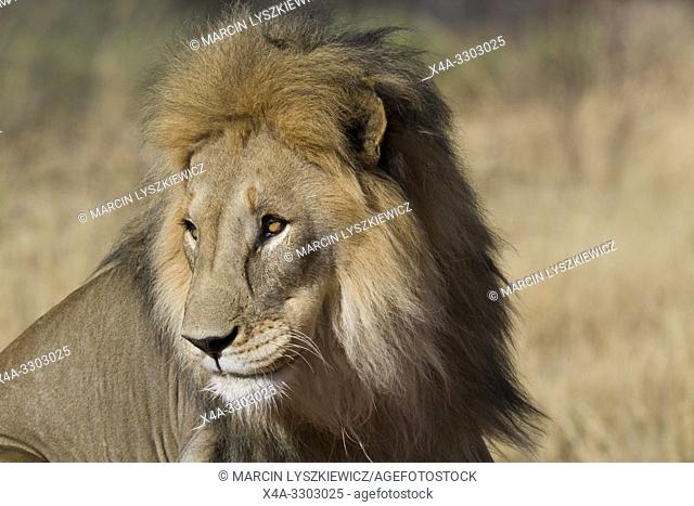 Portait of male lion (Panthera leo), Okonjima Nature Reserve, Namibia