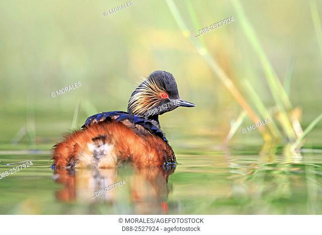 Europe, France, Ain, Dombes, Black-necked grebe Podiceps nigricollis, adult