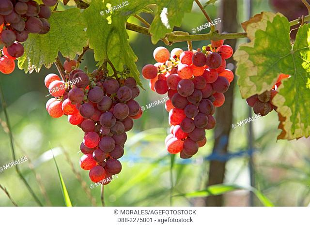 France,Alsace,Bas-Rhin, Wine Route,Dambach the city,Grape,Gewurztraminer