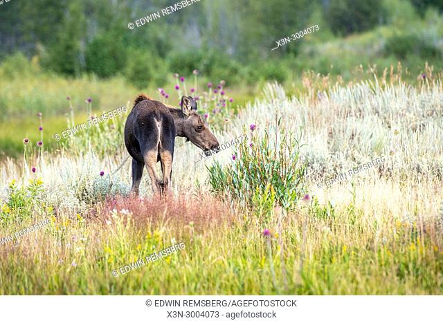 Young Moose stands amongst the tall grasses and vegetation, Young Moose stands amongst the tall grasses and vegetation, Grand Tetons National Park, Teton County