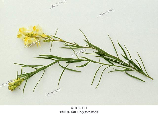 TOADFLAX<BR>Linaria vulgaris