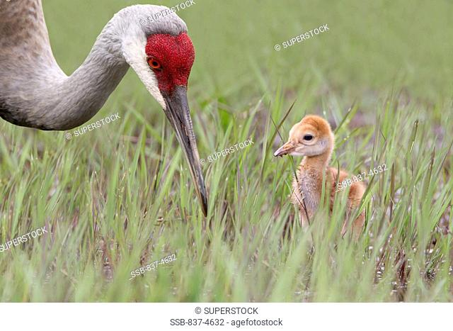 Close-up of Sandhill crane Grus canadensis with baby chick