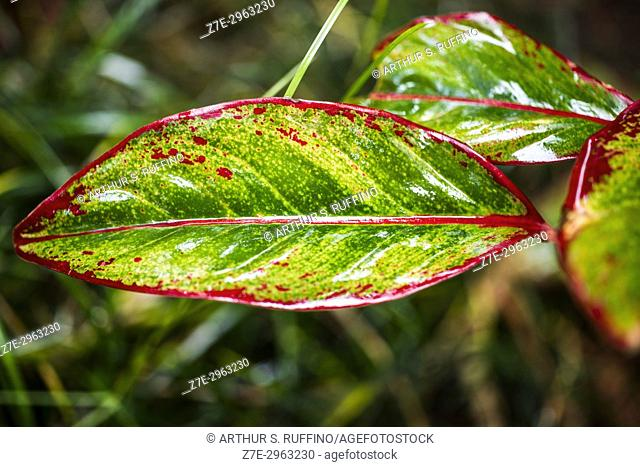 Colorful caladium plant leaves glistening after a rain. Florida, United States of America