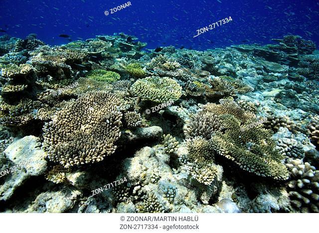 Hausriff der Malediveninsel Ellaidhoo, Ari-Atoll, Malediven, Indischer Ozean, Coral reef of the maldivian island Ellaidhoo, Ari-Atoll, Maldives, Indian Ocean