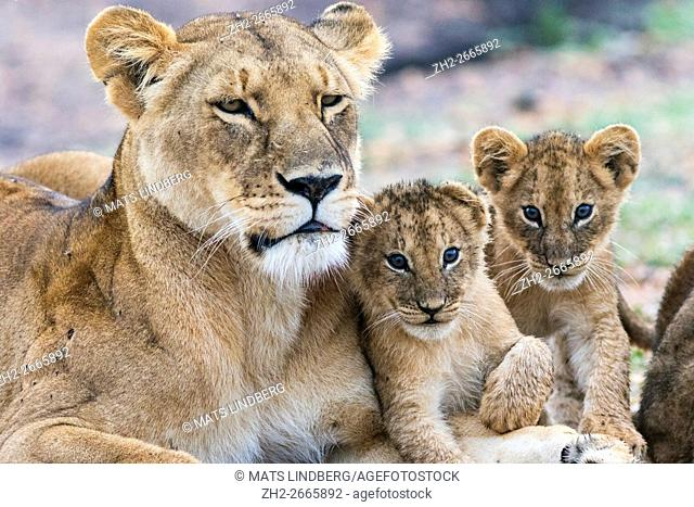Lioness with two cubs fondleing and two cubs looking in to the camera, Masai mara, Kenya, Africa