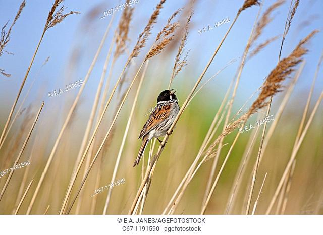 Male Reed Bunting Mmberiza schoeniclus on reed
