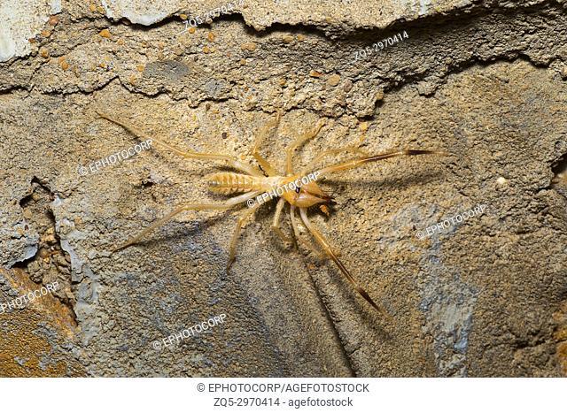 Camel spider, Solifuge, Desert National Park, Rajasthan, India