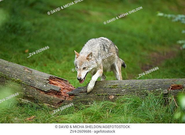 Close-up of a Eurasian wolf (Canis lupus lupus) in the Bavarian forest in summer, Germany