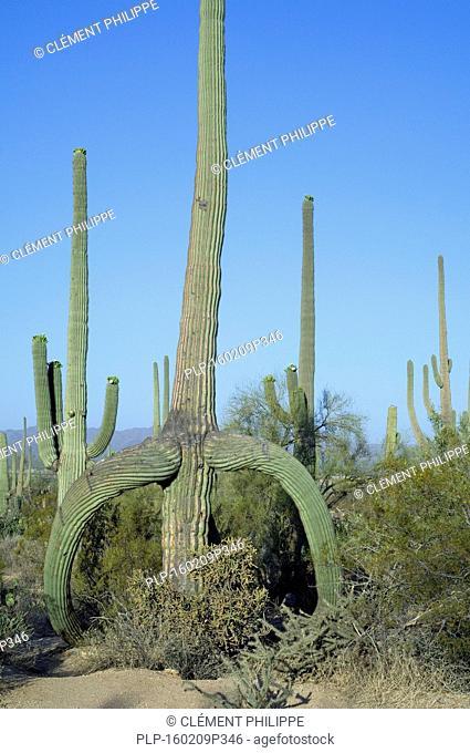 Saguaro cactus (Carnegiea gigantea / Cereus giganteus / Pilocereus giganteus) with sagging branches caused by frost or snow, Sonoran desert, Arizona, USA