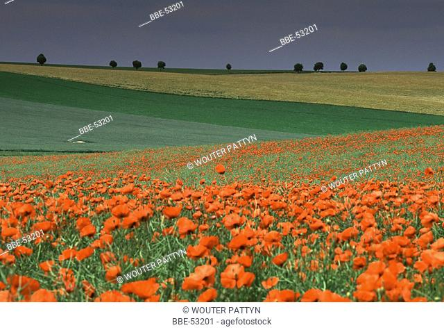 Field of Poppies (Papaver sp)