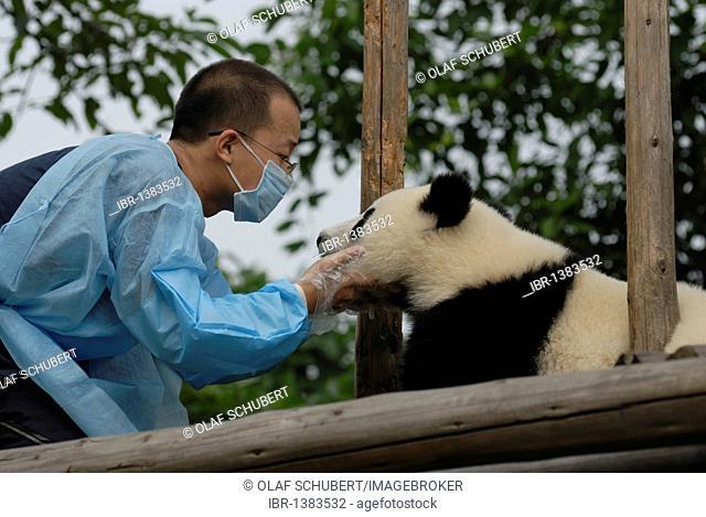 Giant Panda (Ailuropoda melanoleuca) and carer at Chengdu Panda Breeding and Research Center, Sichuan, China, Asia