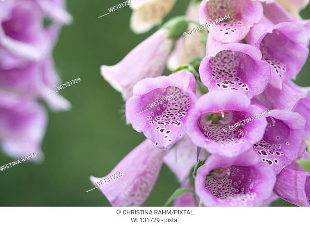 Digitalis purpurea closeup. Bell shaped spotted and poisonous Digitalis or Foxglove