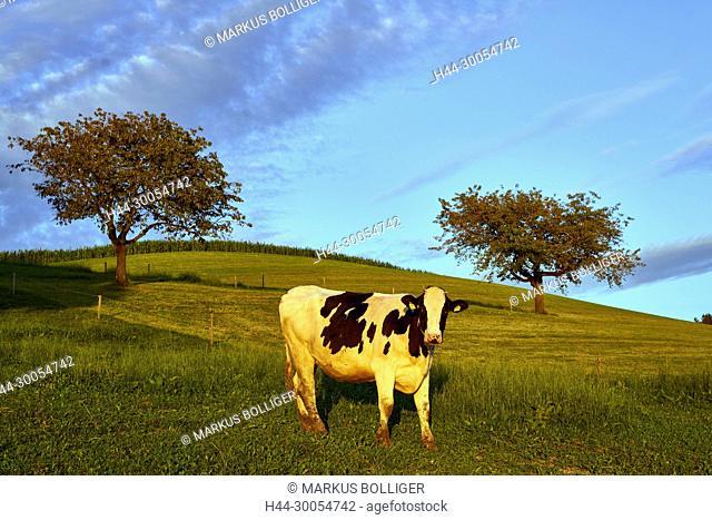 Cow, pipe moss, evening light, Rohrmishubel, black colours, piebald, milk cow, fruit-tree, fruit-trees, milk economy, pasture, hill, sky, horizon