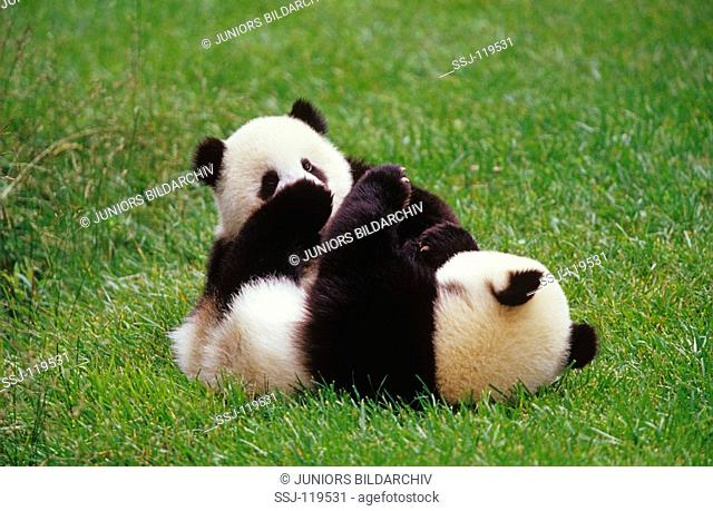 giant panda - two cubs - playing / ailuropoda melanoleuca