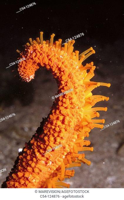 Starfish (Echinaster sepositus), detail of tube feet. Ria of Vigo, Pontevedra province, Galicia, Spain