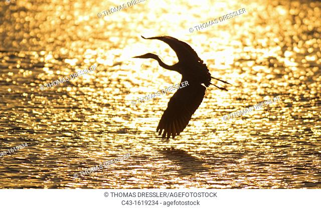 Grey Heron Ardea cinerea - Flying across Sunset Dam at sunset  Sunset Dam, Kruger National Park, South Africa