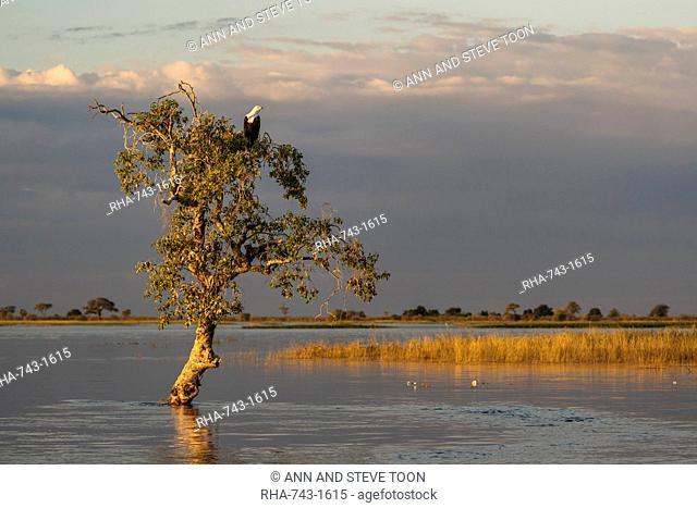 African fish eagle (Haliaeetus vocifer), Chobe National Park, Botswana, Africa