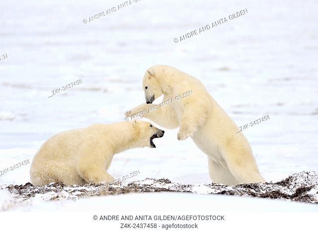 Two polar bears (Ursus maritimus) play fighting, Churchill, Hudson bay, Manitoba, Canada