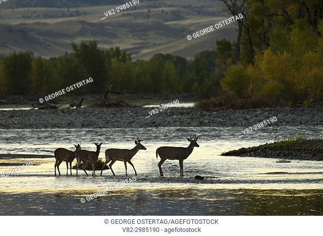Deer crossing Yellowstone River, Sheep Mountain Fishing Access Site, Park County, Montana