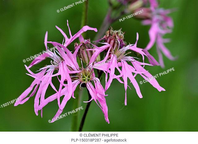 Ragged robin (Silene flos-cuculi / Lychnis flos-cuculi) in flower
