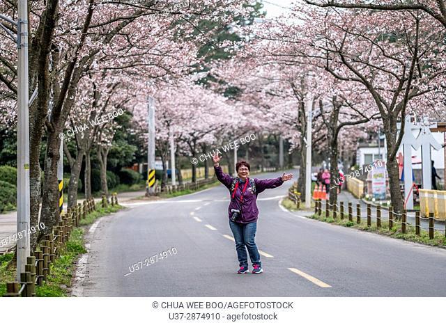 Cherry Blossoms, Jeju Island, Korea