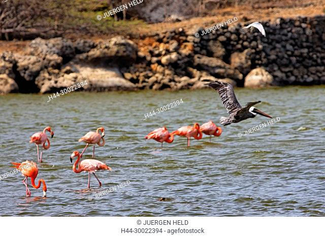 West Indies, Bonaire, Washington National Park, Flamingos and pelican