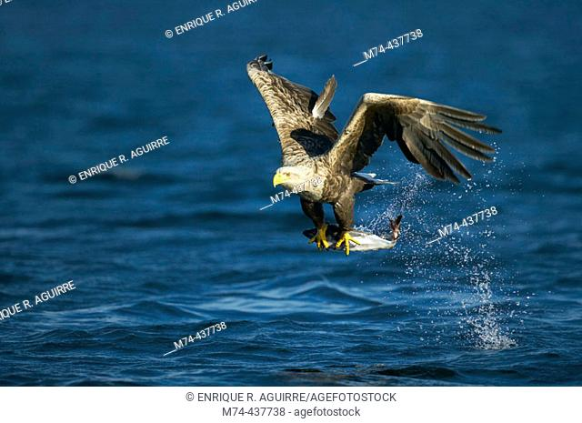 White-tailed eagle with fish catch, Norway