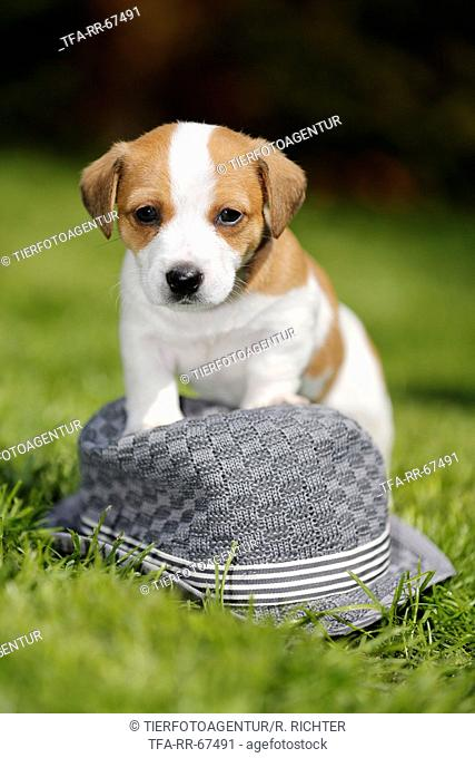 Jack Russell Terrier Puppy in the countryside