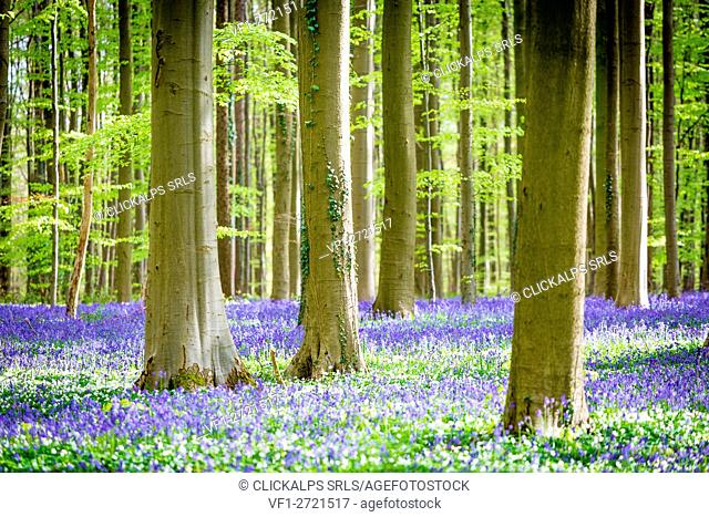 Hallerbos, beech forest in Belgium full of blue bells flowers