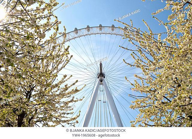 London Eye with spring blossom, London, UK