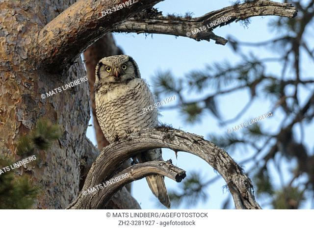 Northern hawk-owl, Surnia ulula, sitting in a pine tree looking in to the camera, Gällivare county, Swedish Lapland, Sweden