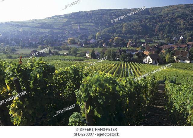 View of Andlau across vineyard, Alsace, France