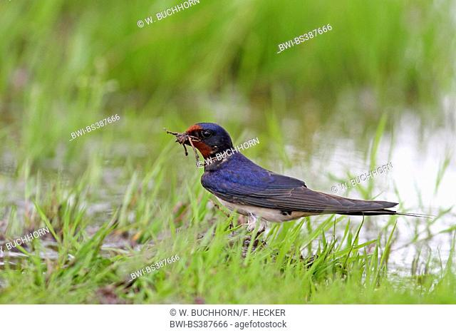 barn swallow (Hirundo rustica), collecting mud for nesting material, Germany