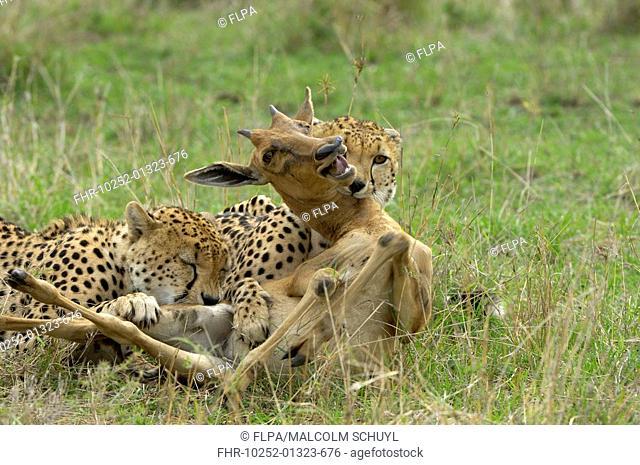 Cheetah Acinonyx jubatus two immature males, killing topi calf, Masai Mara, Kenya