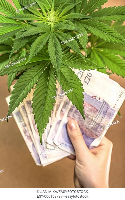 Marijuana business concept. Cannabis plant and hand with banknotes in British currency