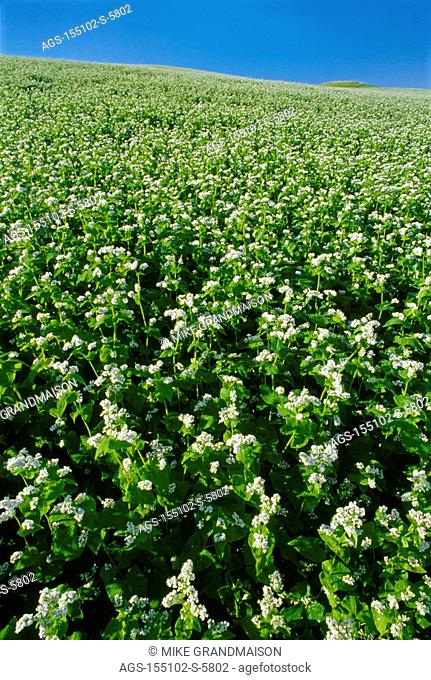 Agriculture - Sloping field of commercial horseradish in full bloom / Canada - MB, Holland
