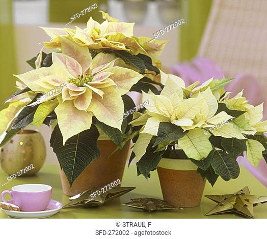 Poinsettias on table with espresso cup