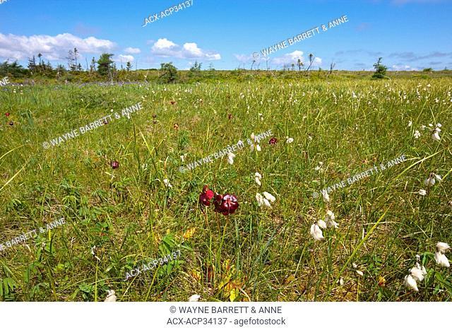 Cotton Grass Eriophorum polystachion, and Pitcher-plant Sarracenia purpurea in the Avalon Wilderness Area, Newfoundland and Labrador, Canada