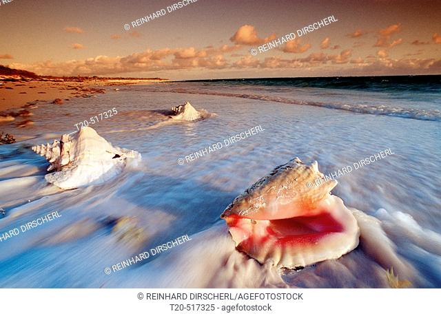 Conch shells on a Beach of the Bahamas, Cat Island, Bahamas, Caribbean Sea